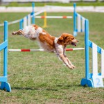 Brittany,Dog,Jumping,Over,Hurdle,In,Agility,Competition